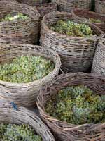 Winemaking traditions in Armenia - grapes