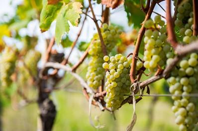 Bunches of ripe grapes, Kakheti