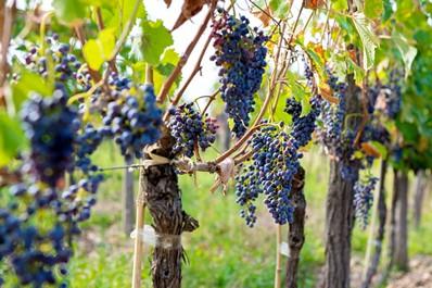 Ripe grapes, Kakheti