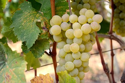 Georgian Grape Varieties