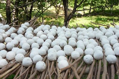 Kurut making - dried yogurt balls, Sentyab Village, Nurata