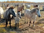 Yakut horse - the most northern breed of horses in the world